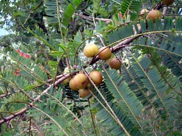Frutti di alma su una pianta