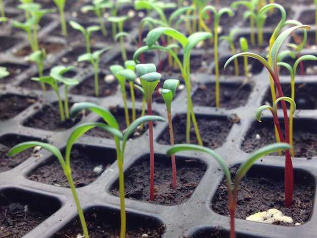 semina in semenzaio