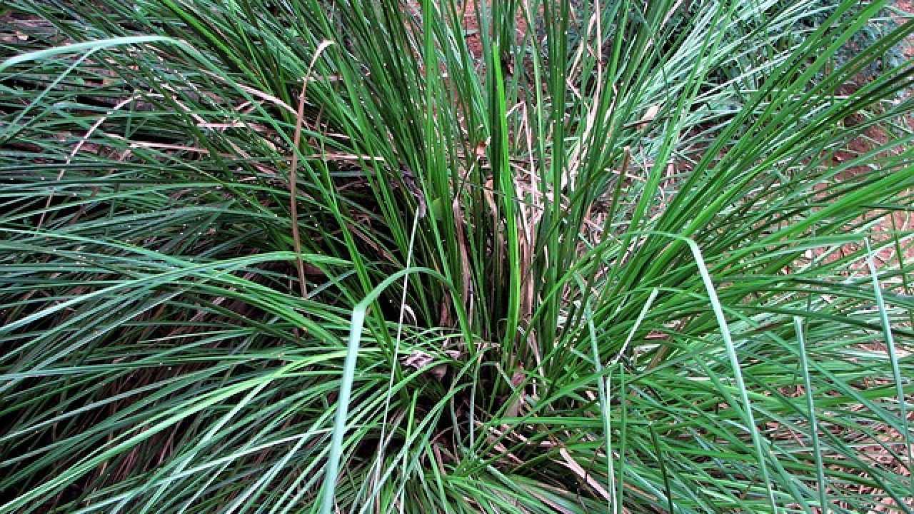 Vetiver, la pianta dalle mille virtù - Idee Green