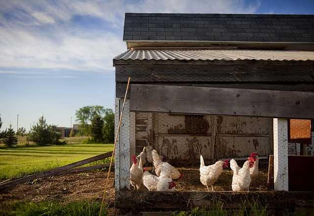 acari dei polli
