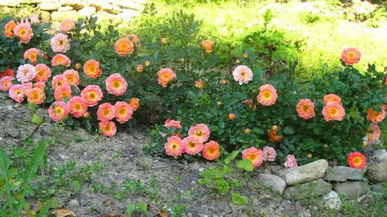 Quante Varietà Di Rose Esistono tutti i metodi di propagazione della rosa - idee green