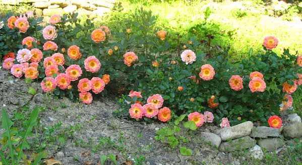propagazione rosa