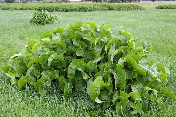 rafano pianta