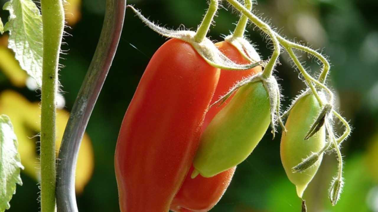 Come Coltivare Pomodori Sul Balcone come coltivare pomodori in terrazzo - idee green