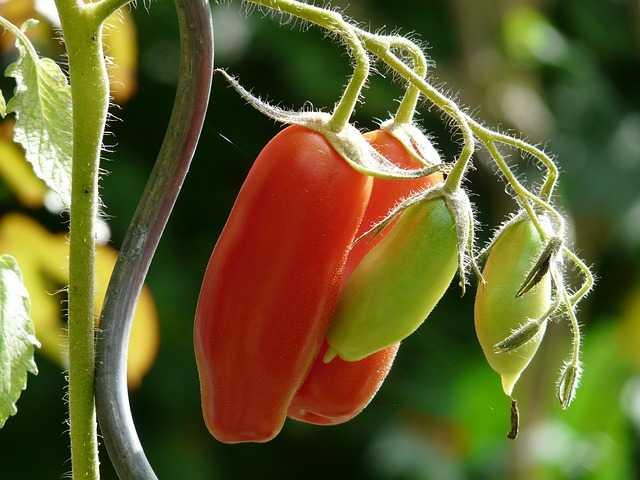 Come coltivare pomodori in terrazzo