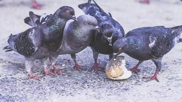 Come allontanare i piccioni - Idee Green