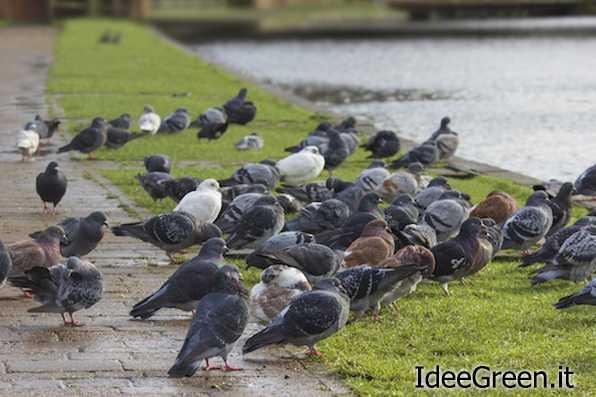 allontanare piccioni