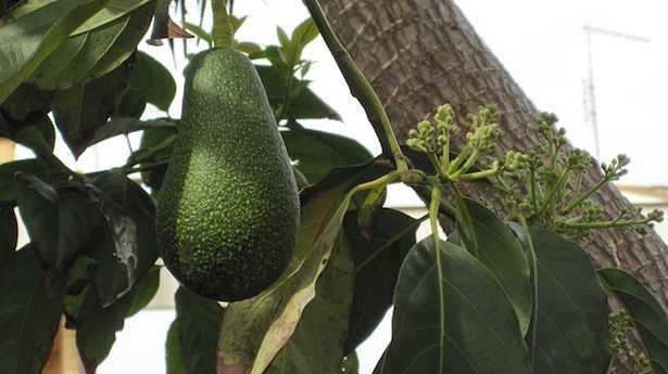 avocado proprietà pianta fiori