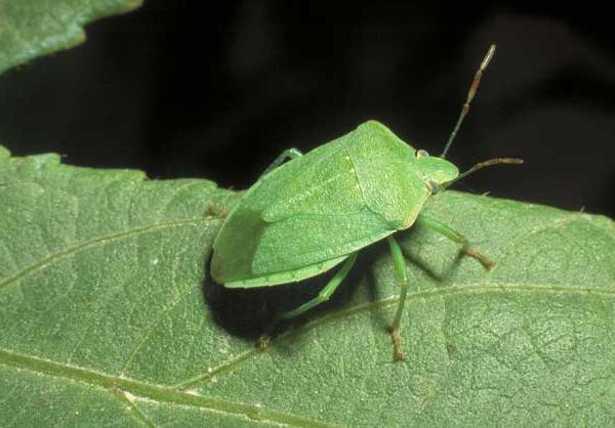Cimici verdi for Cimice insetto
