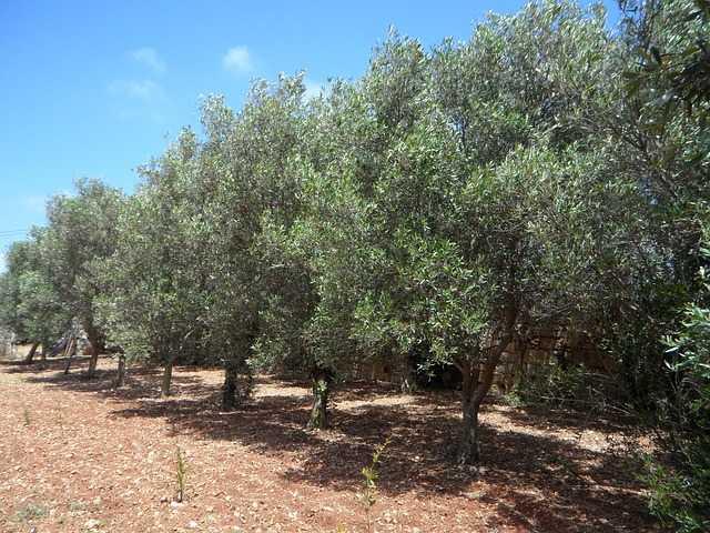 olive passerine