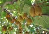 ortaggi e frutti rampicanti