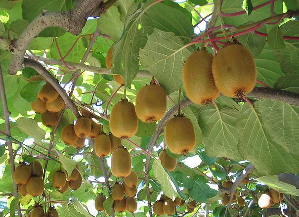 Ortaggi e frutti rampicanti sul balcone idee green for Piante da frutto rampicanti