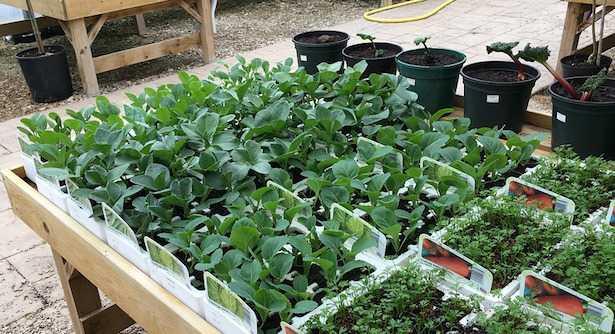 piantare le fave