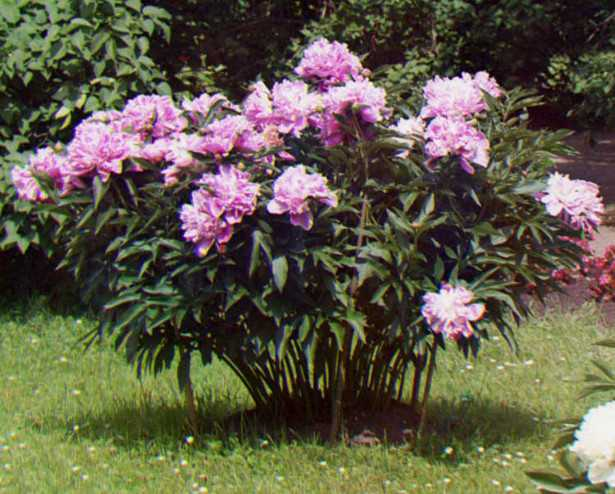 Arbusti da giardino la potatura idee green for Cespugli fioriti da giardino
