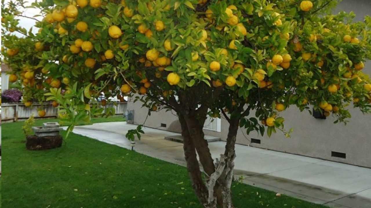Albero Della Fortuna Pianta come potare la pianta di limoni - idee green