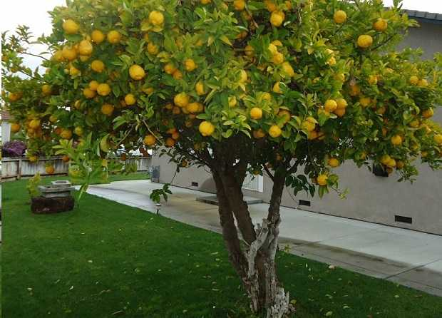 come potare la pianta di limoni