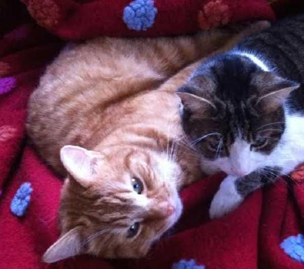 gatti rossi2