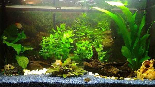 acquario pesci rossi piante3