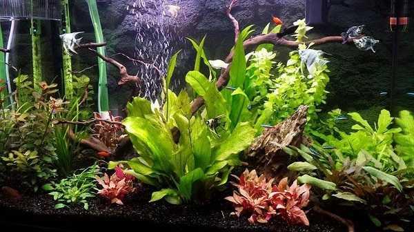 acquario pesci rossi piante4