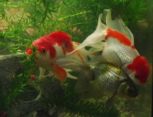 acquario pesci rossi7
