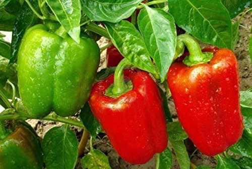 coltivare peperoni in vaso