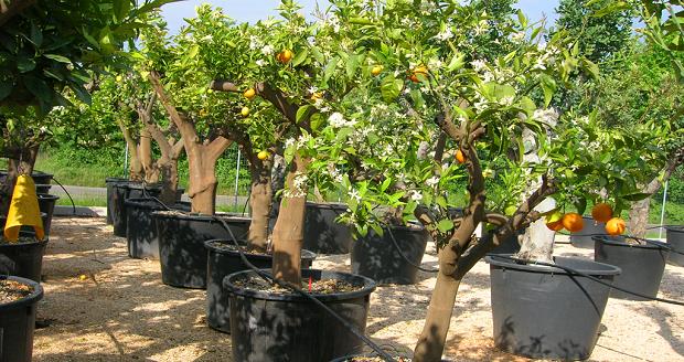 come coltivare gli agrumi in vaso idee green
