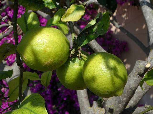 innesto limone