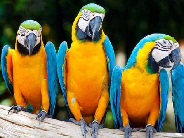 pappagalli parlanti9