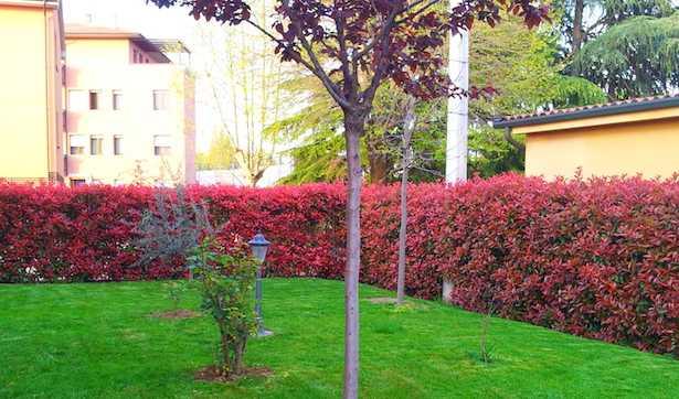 Come potare una siepe idee green for Siepe sempreverde