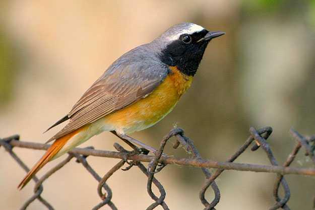 riconoscimento uccelli
