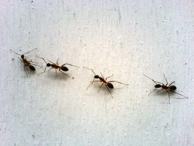 Rimedi contro le formiche in casa idee green - Formiche in casa ...
