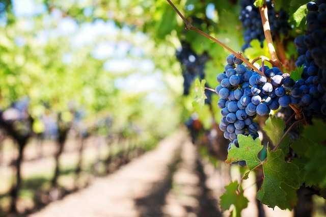 vino biologico vs vino biodinamico