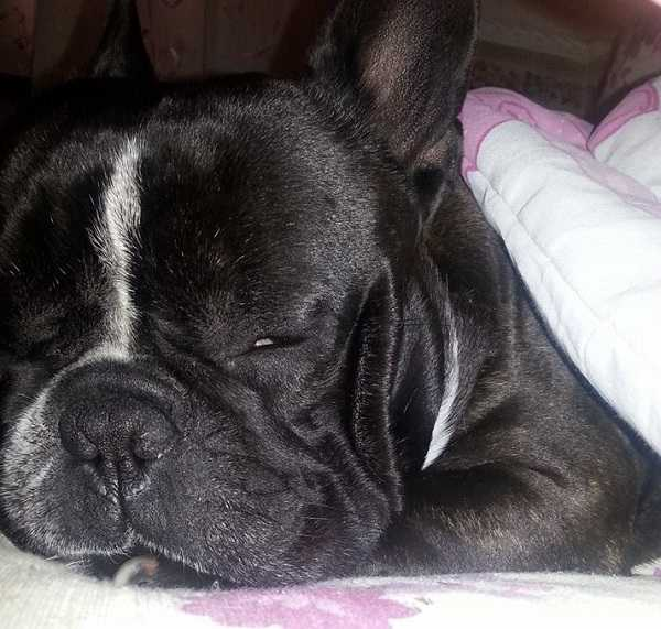 bulldog francese addormentato