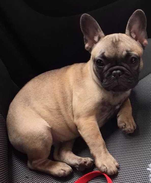 Bulldog francese: fisico
