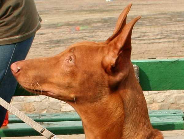 cane egiziano2