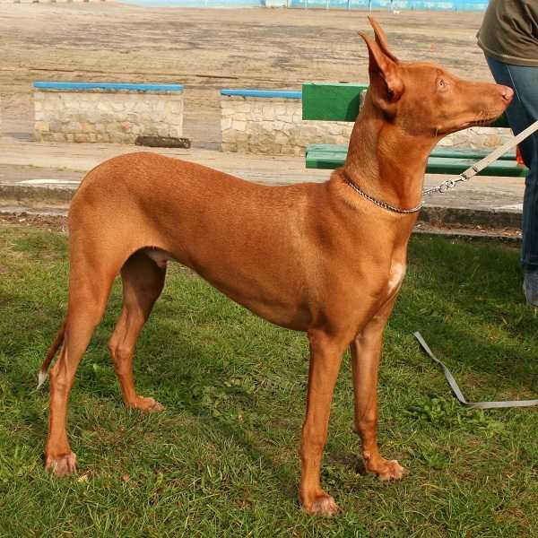 cane egiziano8
