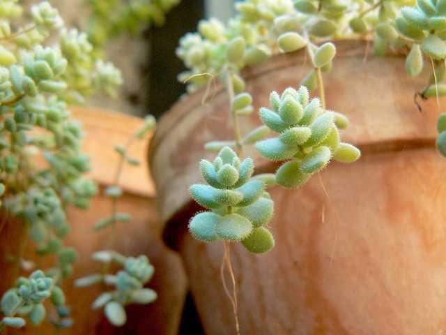 cocciniglia piante grasse