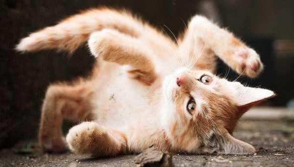 collare antipulci gatto