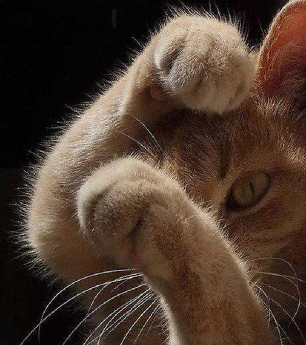 collare antipulci gatto2
