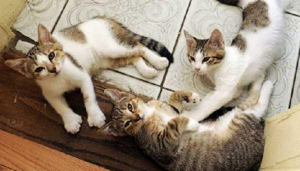 collare antipulci gatto6