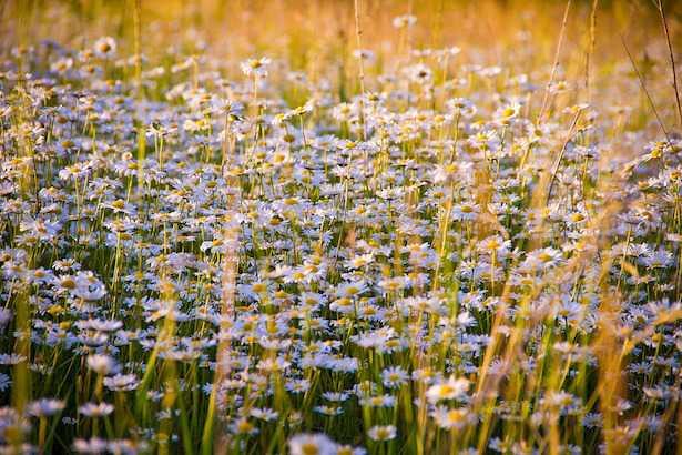 come coltivare camomilla coltivazione semi