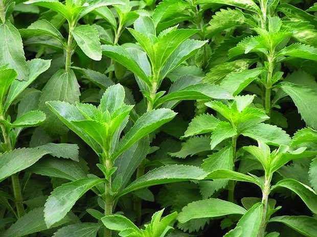 come coltivare la stevia in vaso