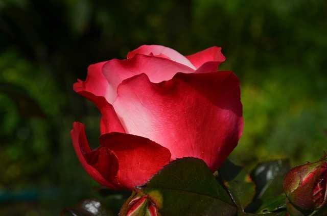 come curare le rose in primavera