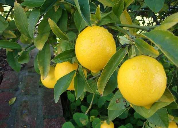 come seminare un albero di limoni