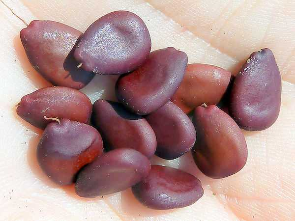 farina di semi di carruba