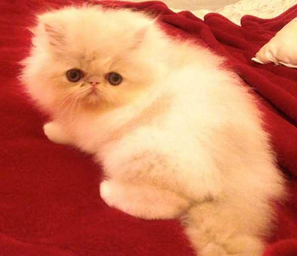 gatti bianchi10