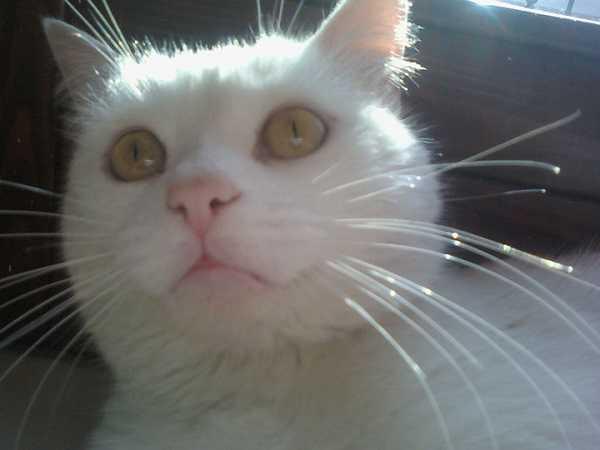 gatti bianchi4