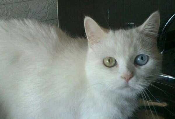 Gatti bianchi razze e carattere idee green for Gatti con occhi diversi