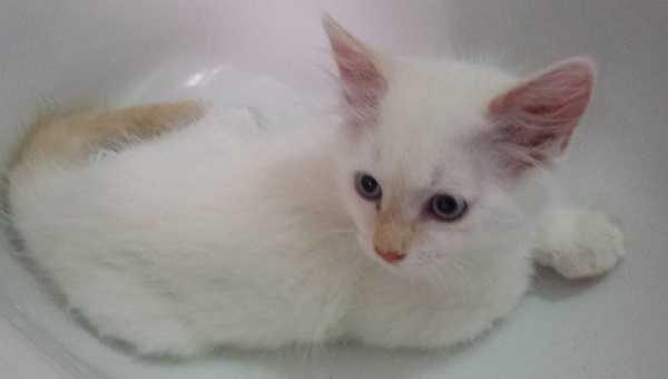gatti bianchi6