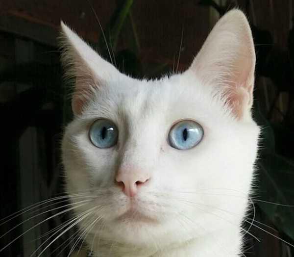 gatti bianchi8